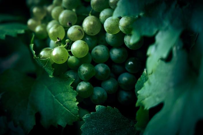 Weintrauben Closeup bei einem Heurigen in Wien